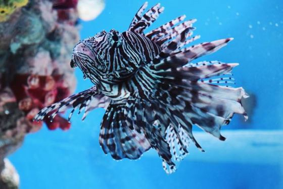 Lion Fish Hunt
