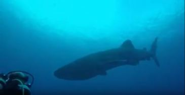 Whale Shark captured on video by Scuba Lodge